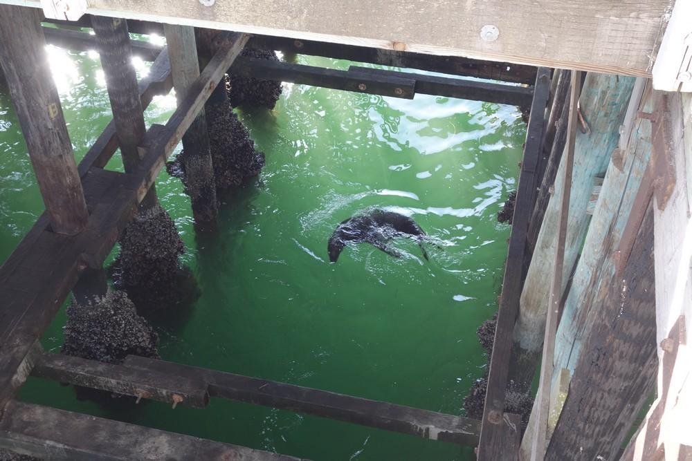 Seals under the pier